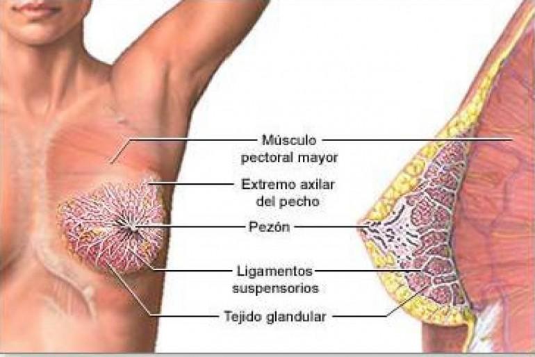 Resultado de imagen para ramificaciones del seno