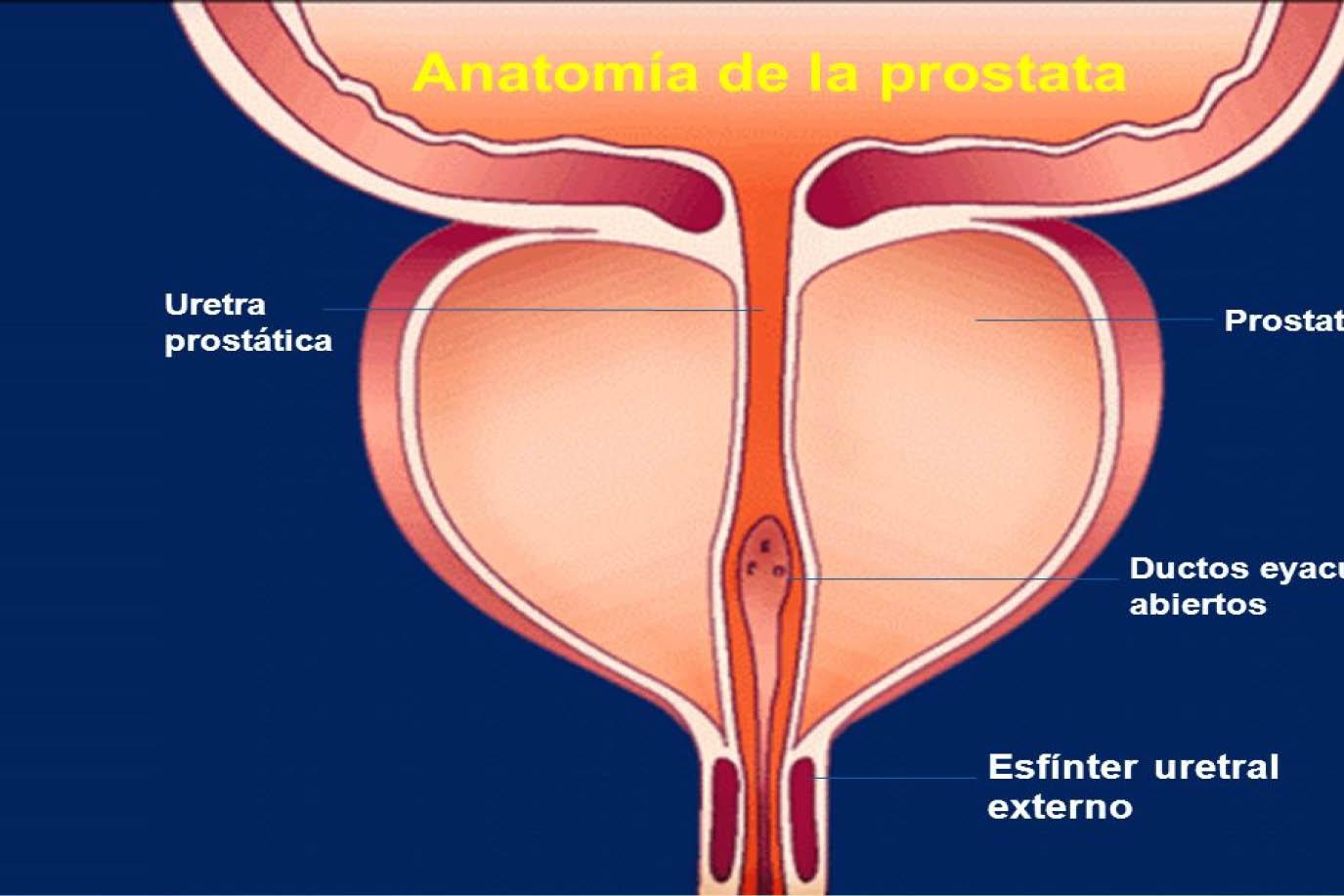 Anatomía de próstata -