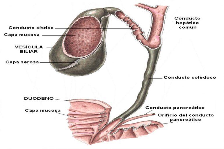 Componentes anatómicos de vesícula y vías biliares. -