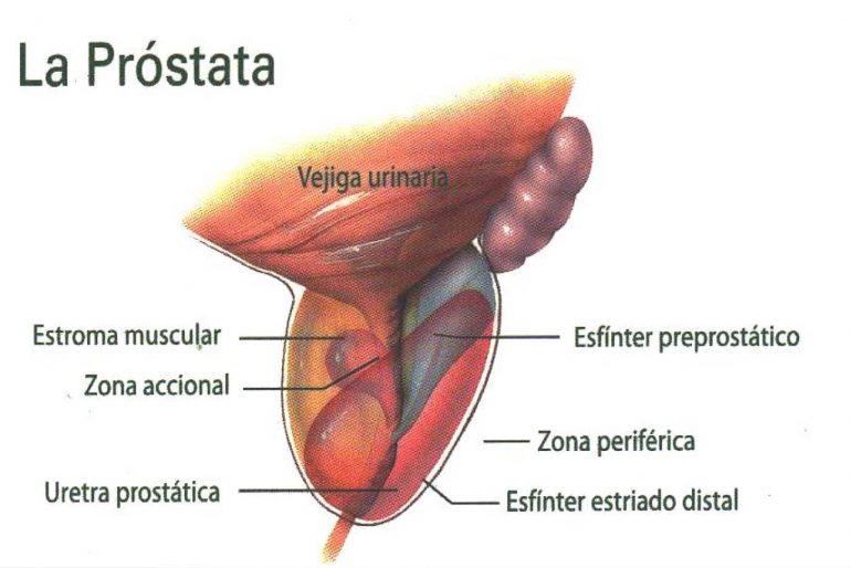 ubicación de la glándula prostática y su función